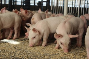 Weanedpigs-Purina1